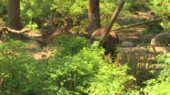 NW Trek Grizzly Bear 02 Stock Footage