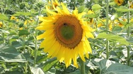 Stock Video Footage of Bee and bumblebee playing on sunflower