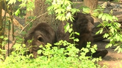 NW Trek Grizzly Bear 04 Stock Footage
