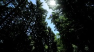 Point-of-View Driving in Giant Redwood Tree Park Stock Footage