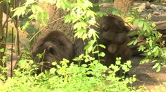NW Trek Grizzly Bear 05 Stock Footage