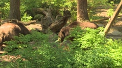 NW Trek Grizzly Bear 08 Stock Footage