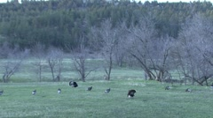 P01453 Turkey Flock in Farmland Area Stock Footage