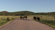 Stock Video Footage of P01458 Bison Herd Walking on Road