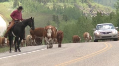 Agriculture, high country western cattle drive, #1 cows along highway car passes Stock Footage
