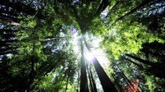 Canopy of Giant Redwood Trees Stock Footage
