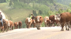 Agriculture,  high country western cattle drive, #7 cows on crest of hill Stock Footage