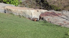 Rock Chuck rodent eating grass P HD 9257 Stock Footage