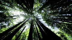 Canopy of Giant Redwood Trees - stock footage