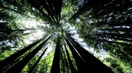 Stock Video Footage of Canopy of Giant Redwood Trees