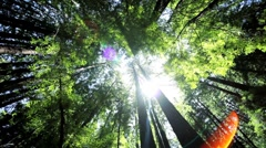 Scenic View of Giant Redwood Trees Stock Footage