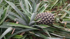 Pineapple plantation - stock footage