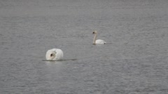Swan animal swimming in lake Stock Footage