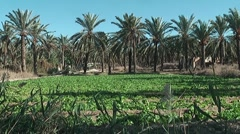oasis in Tunisia near Gabes - stock footage