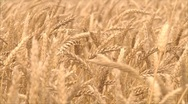 Stock Video Footage of wheat ears
