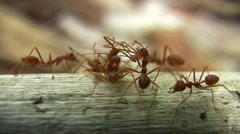 Red Ants Close Up Busy Insects Forage for Food Branch Tiny Ant - stock footage