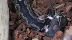 Ball Python and Rat After the Strike HD - stock footage