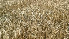 Golden Wheat Stock Footage