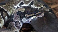Ball Python Eating a Black Rat HD Stock Footage