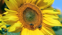 Honey bees On A Sunflower Stock Footage