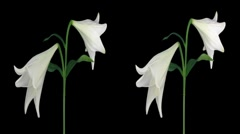 Stock Video Footage of Stereoscopic 3D time-lapse of opening white easter lily cross-eye 1a