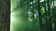 Redwoods Forest Sunset 05 HD720 Stock Footage