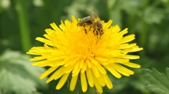 Bee and dandelion fly Stock Footage