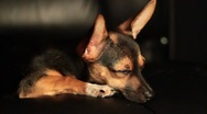 Stock Video Footage of Miniature Pinscher resting