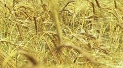 Rye Grass Stock Footage