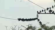 Flock of Crows on a Wire Stock Footage