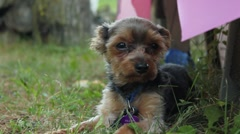Yorkie laying by picnic table Stock Footage