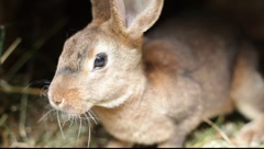 brown rabbit - stock footage