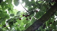 Stock Video Footage of red cherry tree