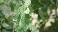 Tomatoes in glasshouse Stock Footage