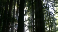 Redwoods Forest Sunlight Timelapse 01 Stock Footage