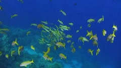 Shoal of tropical fish Stock Footage