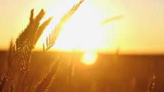 Western Grass in the Summer Sun - stock footage