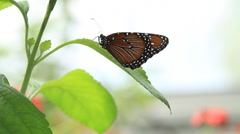 Butterfly on a leaf One Stock Footage