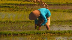 Peasants Plant Rice in Paddy, Bali - stock footage