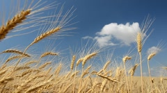 Wheat crop - stock footage
