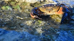Large Stone crab Stock Footage