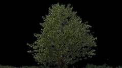 Tree 06 Stock Footage