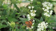Beautiful Butterfly in Garden on White Flowers Stock Footage