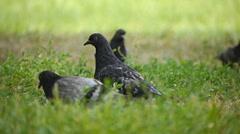 Pigeons harken Stock Footage