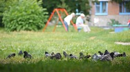 Stock Video Footage of pigeons near playground  fly forth