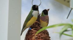 Finches on Nest Stock Footage