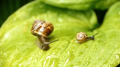 HD - Big Snail - stock footage