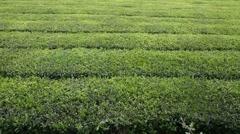 Chá Gorreana tea plantation Stock Footage