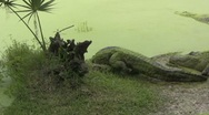 Stock Video Footage of A bunch of alligators go into water