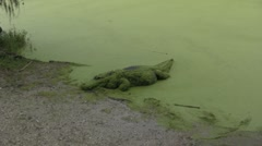 Alligator crawls up to the bank - stock footage